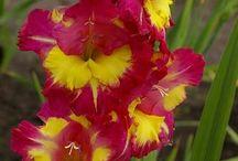 Gladiolus I want.