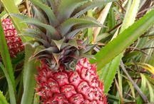 ABC's of Bromeliaceae / The pineapple (Ananas comosus) is a tropical plant with edible multiple fruit consisting of coalesced berries and the most economically significant plant in the Bromeliaceae family / by Isye Whiting
