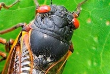 Cicadas / by Southern Pest Control