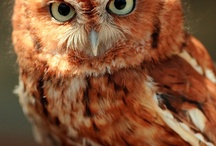 Owls / Everything about owls / by Stefania Foti
