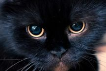 BEAUTIFUL BLACK CATS ....