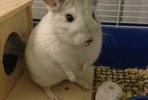 Chinchillas