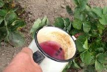 Jahody pěstování