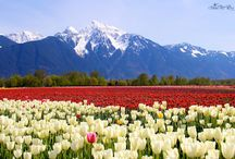 A Rainbow of Colour – Tulip Fields. / Tulip fields from my visits to the tulip festival, east of Vancouver, Canada.