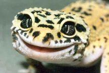 Alfie's lizard