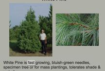 Pine - Spruce - Fir / Information on what grows fast, gives privacy, tolerates some possible shade, for group planting. / by SimpleSue Hughes