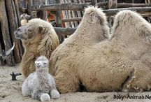Baby camels / Baby camel Pictures