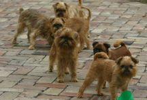 Griffon Bruxellois - underbara hundar / Har två killar av rasen Griffon Bruxellois, Rocco & Bosse. Mina goa och trogna älsklingar <3