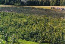 Notre bleuetière - our blueberry field www.lafruiteraie.com / Une visite de notre bleuetière situé sur le mont Rougemont en Montérégie. Vous pouvez venir y faire la cueillette de vos bleuets. Splendide vue sur la chaine des Appalaches.  Venez nous voir !