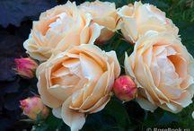 Roses / Новые сорта и просто красивые фото роз и их компаньонов