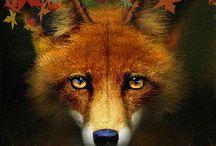 Rusés renards (Foxes)