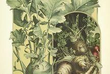 Növény illusztráció