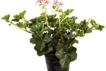 Peter van Os / Pelargonium Balkon /  Pelargonium Balkon