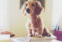 Miniature dachshunds / Dogs