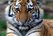 Tigre / Le tigre trop mimi
