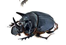 scarabaeidae onthophagini
