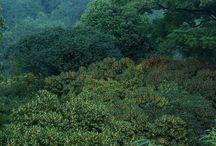 Sweet-scented osmanthus of Hangzhou / Sweet-scented osmanthus of Hangzhou