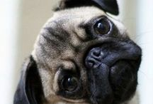 PUGS / This board is about PUGS (the best animal in the world)