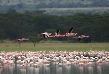 Lake Elementaita National Park / Lake Elementeita is one of a series of soda and fresh water lakes that dot Kenya's portion of the Great Rift Valley. Recognisable from a distance by a ring of bright pink flamingoes that feed around the edge of the lake, Elementaita is bordered by Soisambu Ranch, owned by the rather infamous Lord Delamere. A lodge converted from an old colonial ranch house comprises the only accommodation available here and while the bird-life is good, there is little by way of game.