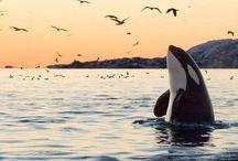 Orcinus Orca (Killer Whales).