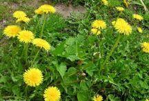 Bylinky a jedlé rostliny