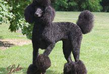 Poodles / by toni croteau