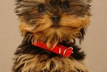 Sir Elliott McElliott / our little yorkie terror..yes..terror. we love him awful.