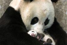 Panda-monium :)