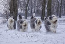 Old English sheep dogs