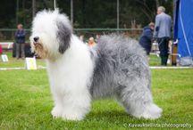 Omat Koirat/ my dogs / Minun Vanhaenglanninlammaskoirani <3