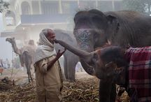 Animal - Elephants
