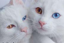 gatos gêmeos