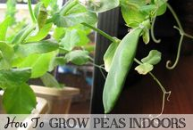 Indoor Growing / Flowers and edible plants that can grow indoors. / by Joyce Park