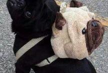 Pugs  / All things pug