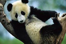 Tapety - zwierzęta - niedźwiedzie - panda
