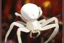 Snow White Spiders!
