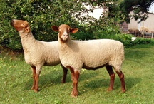 Fiber: Sheep and Wool / All about Sheep and Wool