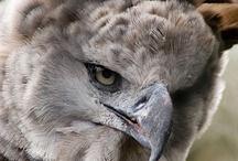eagels-orlové