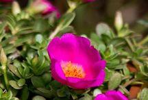 Purslane Flowers