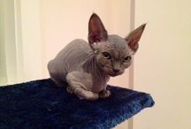 My beautiful Devon Rex kitty / A beautiful blue male Devon Rex with a mischievous and delightful personality. Love him to bits. His name is MeowCat and he was born on the 24/04/2014.