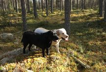 Troberrys / Labradorlife