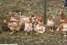 Ex battery chickens
