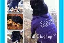 Edie The Pug / A determined Pug, hoping to have a Telus critter made in my likeness!