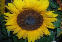 Kwiaty polskie / Zdjęcia kwiatów są wykonane przez  grazke ... amatorkę