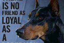 Dobermans / I have loved dobes for years and even though I can't have one with me now I still keep in touch with these noble hearts.