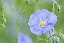 Fleurs / Lin bleu