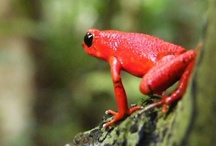 Wildlife Panama / Wildlife we find here at Tranquilo Bay Eco Adventure Lodge, in Bocas del Toro or Panama.