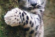 Snow lropard cub