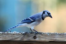 ANIMAL • Blue Jay