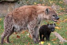 Hyena Sanctuaries in India / Sanctuariesindia: Here you can get information about all Hyena Sanctuaries in India